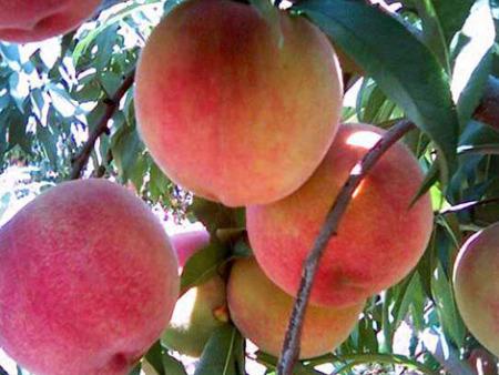 桃树树苗哪里有卖,绥化桃树树苗