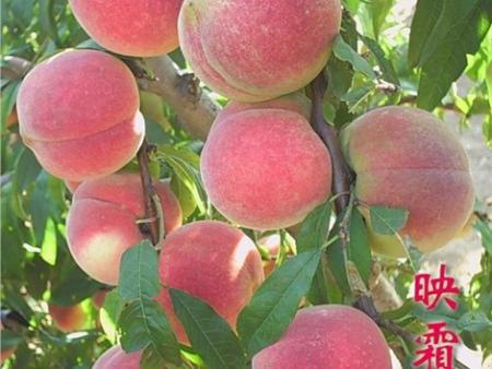 供应辽宁高质量的桃树树苗-长春桃树树苗