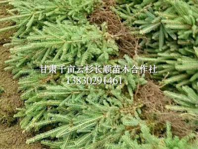 甘肃云杉-想要成活率高的云杉就来甘肃云杉长顺苗木