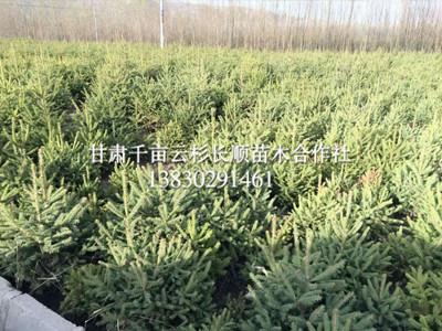 甘肃哪里有卖青海云杉的-实惠的云杉出售