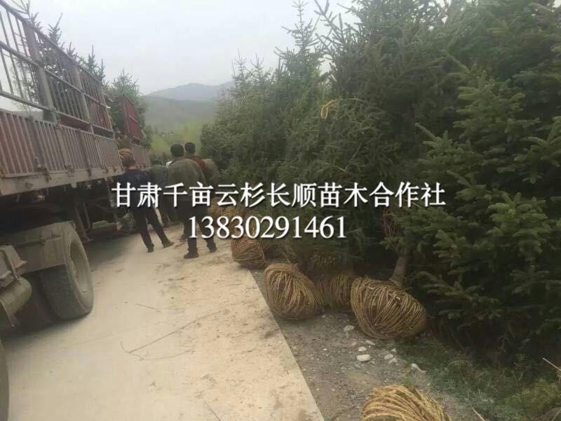 甘肃哪里有卖青海云杉的-想要品种好的云杉就来甘肃云杉长顺苗木