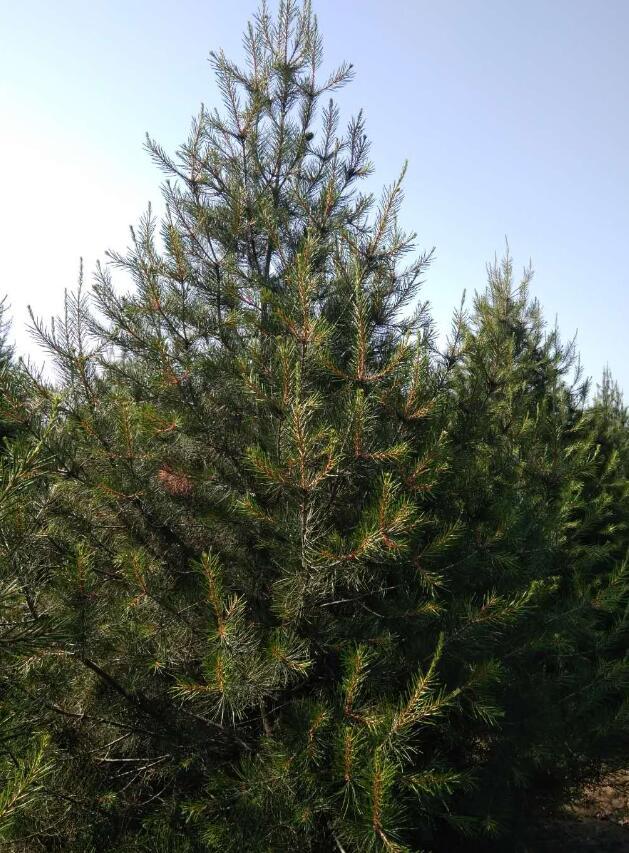 济南白皮松-哪里能买到成活率高的天行白皮松苗木