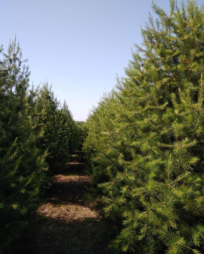 山东白皮松种植-天行白皮松苗木价格量大从优