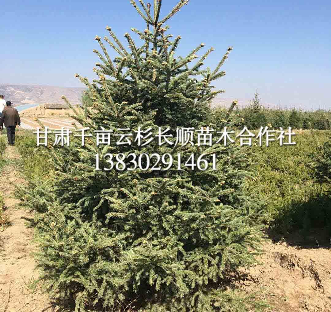 临洮青海云杉-甘肃品种好的云杉供应