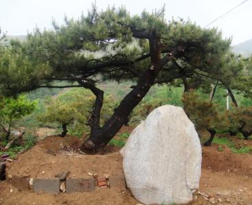 泰安口碑好的造型松在哪里_泰山迎客松