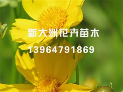 2018发发发!金鸡菊种植基地,金鸡菊批发价格,金鸡菊供货商
