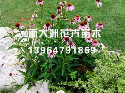 松果菊万博manbetx地址//松果菊批发销售——新大洲花卉苗木