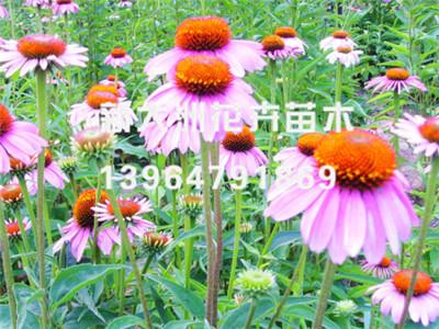 松果菊种植_潍坊声誉好的松果菊供货商推荐