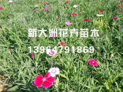 石竹万博manbetx地址//石竹批发销售——新大洲花卉苗木