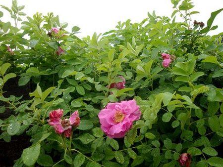 青州四季玫瑰种植-潍坊品质好的四季玫瑰哪里有供应