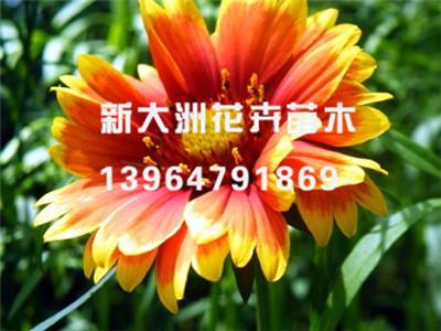 天人菊种植基地//天人菊批发销售——新大洲花卉苗木