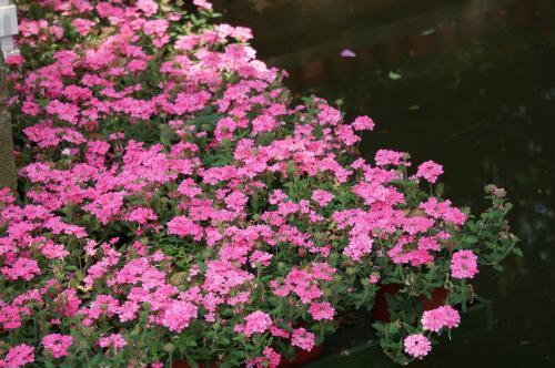 美女樱批发价格——优惠的美女樱基地永胜花卉供应