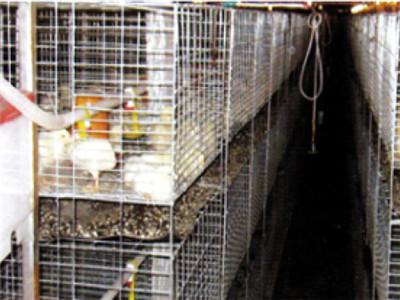 【伟杰农牧】蛋鸡笼养设备//标准化蛋鸡全套设备