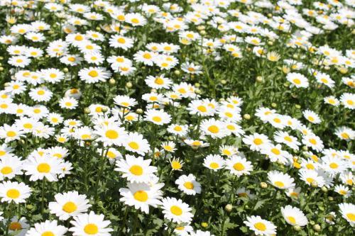 山东专业的雏菊种植基地生产基地-雏菊基地