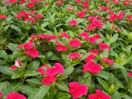 新疆天天开 想要品种好的天天开就来丽园花卉