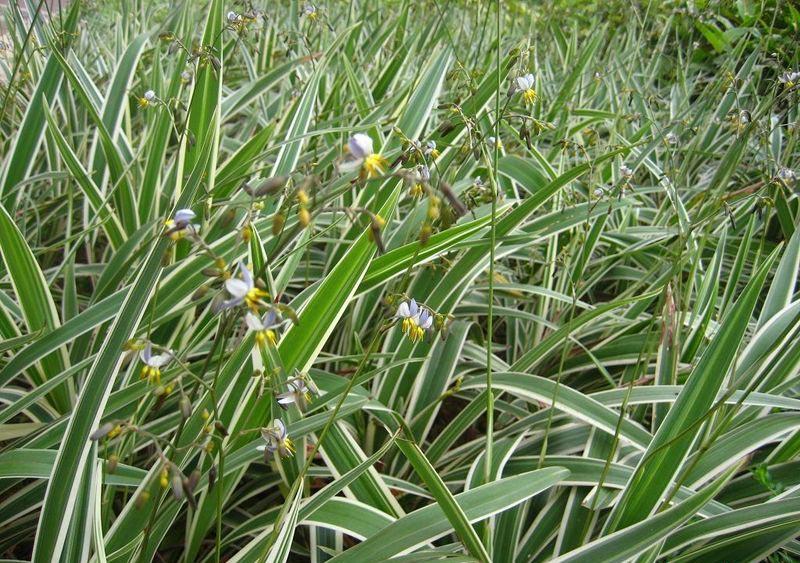 玉带草种植-潍坊超值的玉带草哪有卖