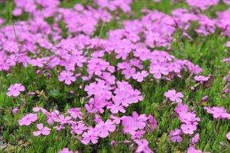 芝樱花——花开富贵