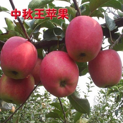 四平苹果树苗哪家好-供应品种好的苹果树苗