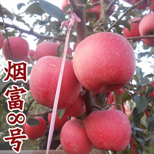 蘋果樹苗供貨廠家-河南哪里有出售蘋果樹苗