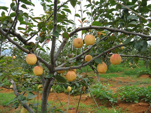 哪里能买到划算的梨树苗,锦州梨树苗哪家好