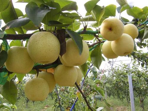 梨树苗厂商_供应河南优良的梨树苗