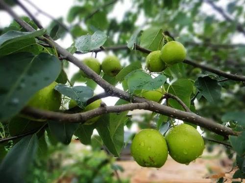 辽宁梨树苗_供应河南品种好的梨树苗