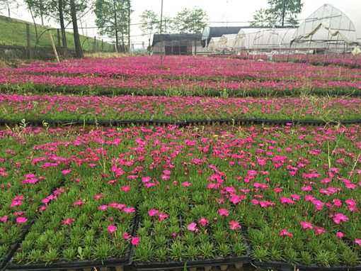 青州欧石竹苗供应商-九艺花卉苗木质量好的欧石竹出售