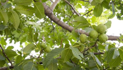 万盛核桃树-河南哪家核桃树供应商好