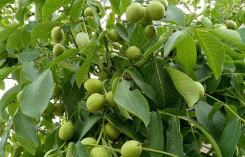 重慶核桃樹_供應河南優良的核桃樹