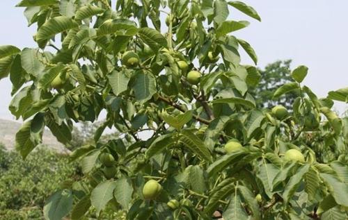 巴南核桃树-想要品质好的核桃树就来硕果苗木种植合作社