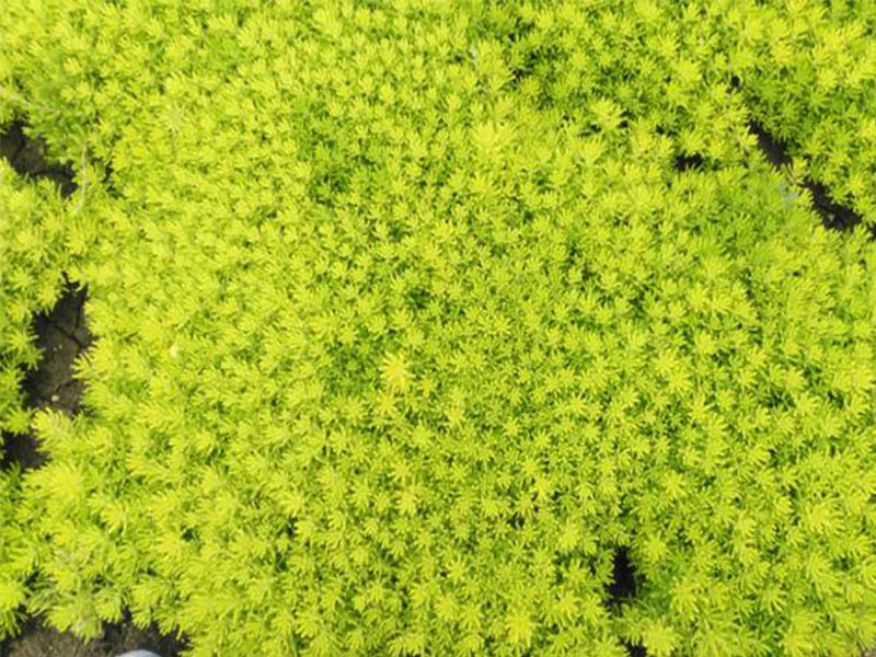 五色草供應,菊花品種,立體花壇造型