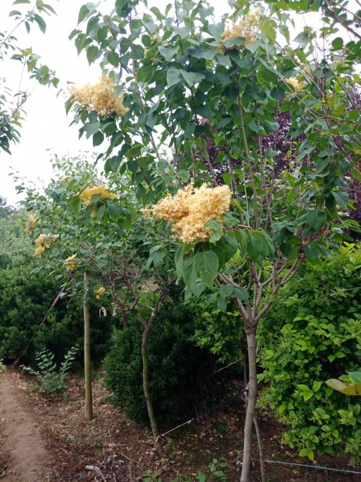 丁香树-黄花丁香大量1-30公分齐全-到汇涛苗木