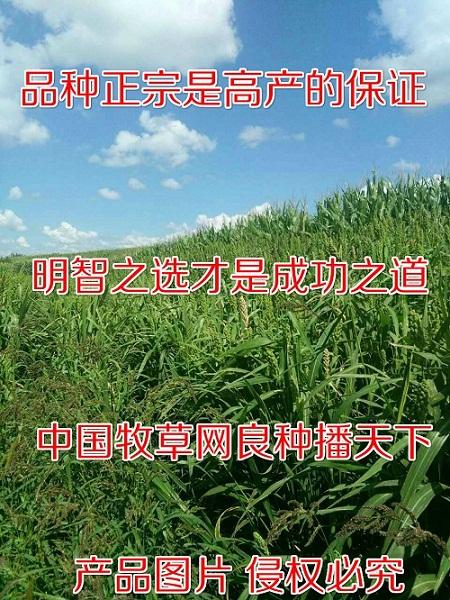 现在适合种植的牧草有哪些水里能长的牧草耐涝的草种子