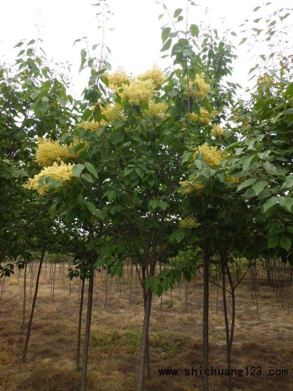 黄花丁香大小规格齐全1-30公分适合高级绿化汇涛苗木电话13