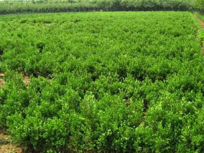 潍坊瓜子黄杨种植基地哪里有供应-河北瓜子黄杨