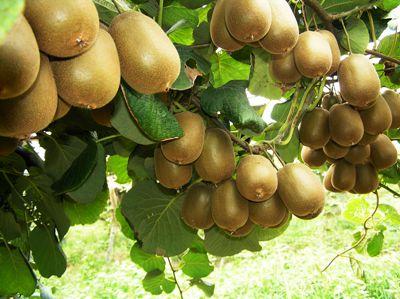 去哪找聲譽好的貴州草角山野生新鮮獼猴桃廠家|巴南野生獼猴桃