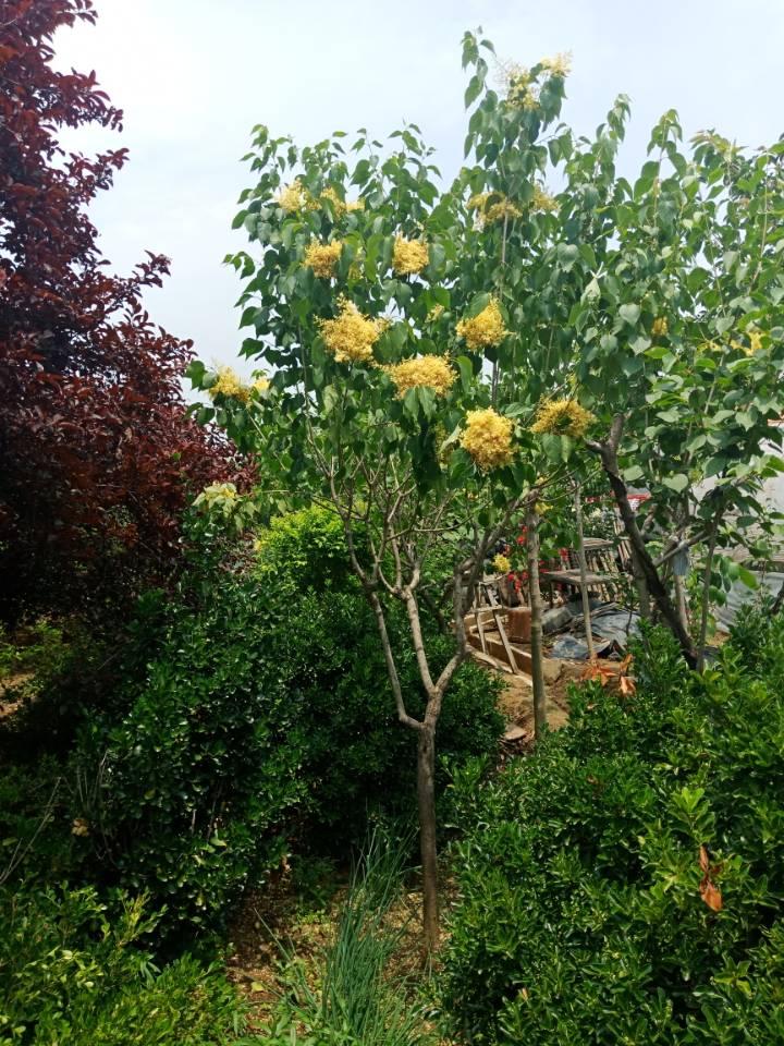 黄花丁香俗称黄金丁香树汇涛黄金丁香基地1-30公分齐全