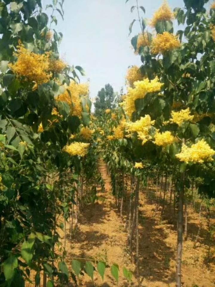 黄花丁香树又称黄金丁香树高级绿化选择13561773884