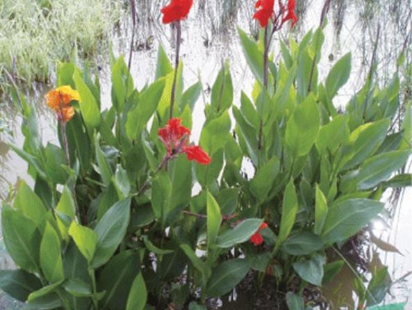 水生美人蕉基地|质量好的水生美人蕉润晟花卉供应