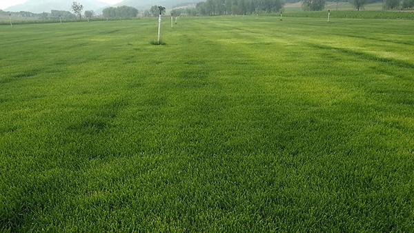 辽宁草坪|铁岭绿化草坪绿之缘苗木供应优质苗木草坪