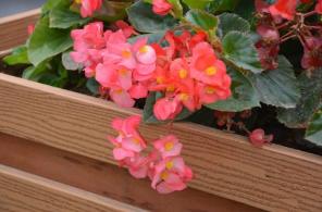 價位合理的四季海棠就在金通花卉苗木 四季海棠價格