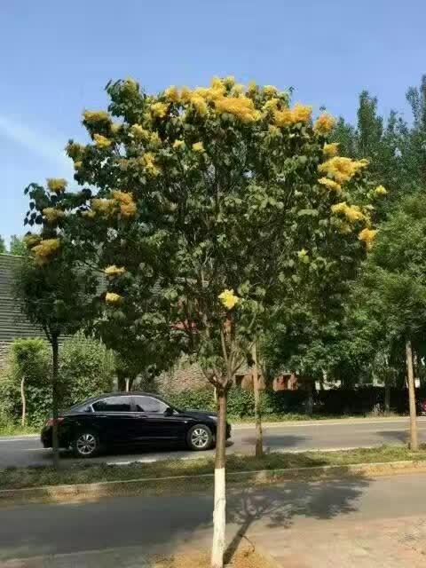 黄花丁香-泰安汇涛黄金丁香基地1-30公分齐全1356177