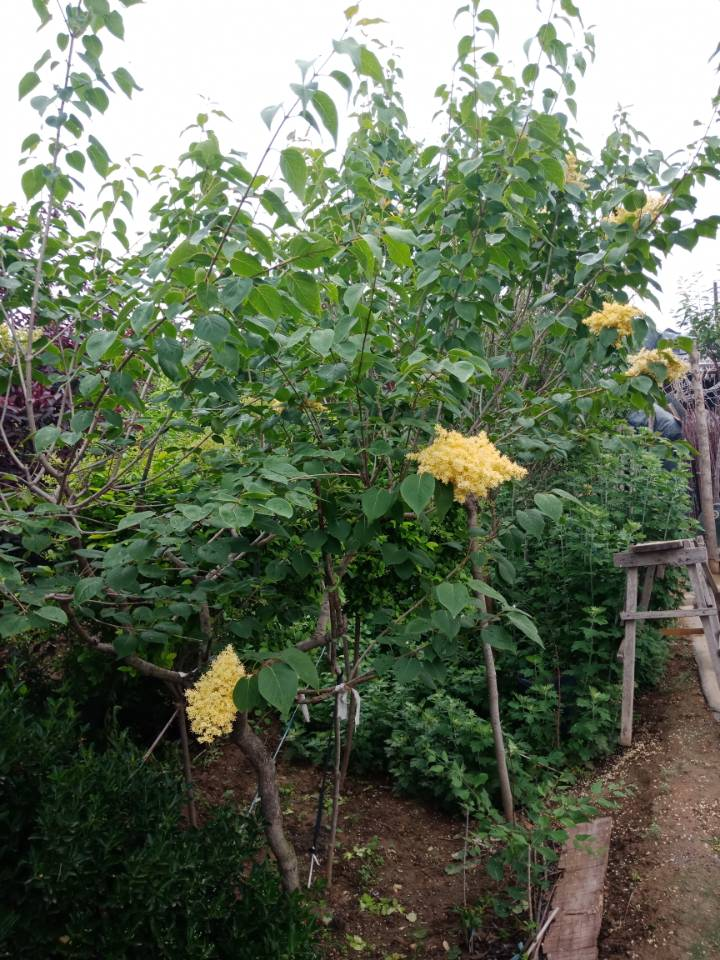 黄花丁香1-30公分大量供应13561773884