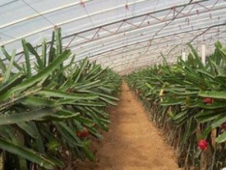 火龙果养殖棚