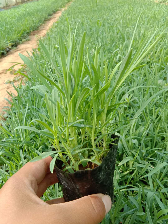 《热门快报》石竹哪里卖 地被石竹种子格