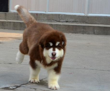 巨型阿拉斯加幼犬出售北京阿拉斯加犬舍专业繁殖