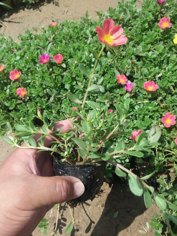《花儿开了》太阳花杯苗价格 双色盆太阳花批发