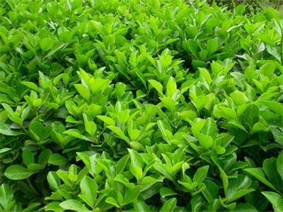大叶黄杨批发价格-哪里能买到实惠的绿化苗木