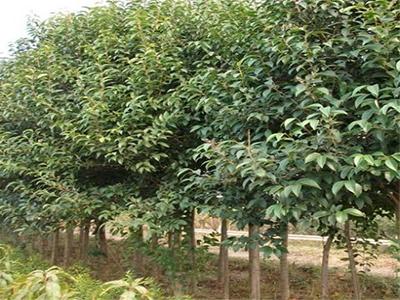 碧桃-在哪能买到品质好的绿化乔木