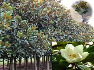 紫薇,销量好的绿化乔木推荐